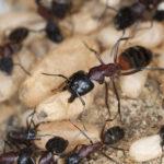 Как «разговаривают» муравьи?