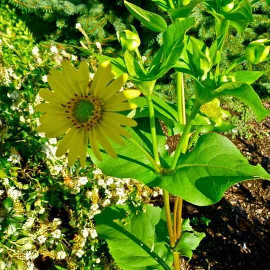 У некоторых растений листья располагаются строго по меридианам