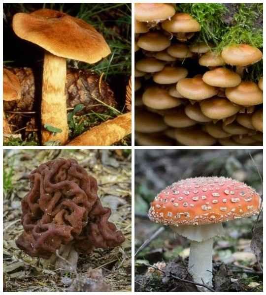 Существует около 10 000 видов грибов, ядовита среди них - незначительная часть.
