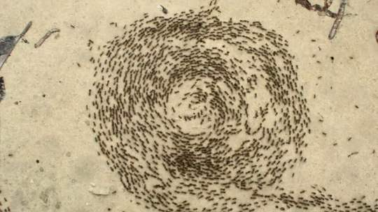В групповых походах муравьи передвигаются цепочкой